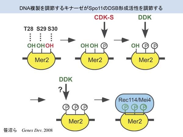 研究テーマ:クロマチン・エピジェネティクス・ノンコーディングRNAと遺伝子発現・ゲノム動態の関係